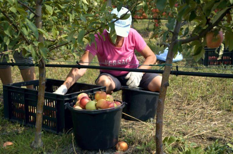 В Тельмановском районе ДНР собрали первый урожая яблок Суперинтенсивного сада