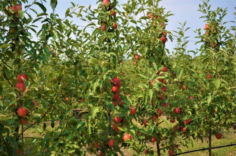 Новый урожай яблок из Тельмановского района вскоре поступит на прилавки торговых сетей и рынков. (Видео)
