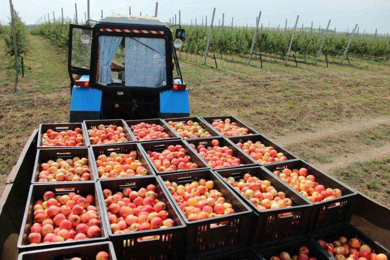 Собран урожай Суперинтенсивного яблоневого сада. (Видео)