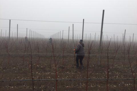 Обрезка деревьев и внесение удобрений на 10 га суперинтенсивного яблоневого сада отделения «Сады Донбасса» ГП «Агро-Донбасс»