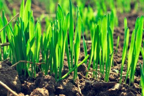 На ГП «Заря Агро» работы по подкормке озимой пшеницы выполнены на 55%