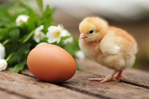 На ГП «Шахтёрская птицефабрика» более 70 тысяч кур переведут на производство инкубационного яйца