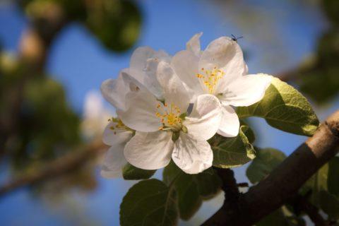 В эфире радио «Республика» рассказали о состоянии суперинтенсивного яблоневого сада (аудио)