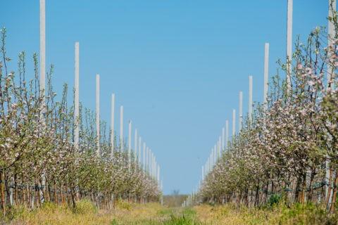 В суперинтенсивном яблоневом саду проводятся работы по борьбе с сорняками