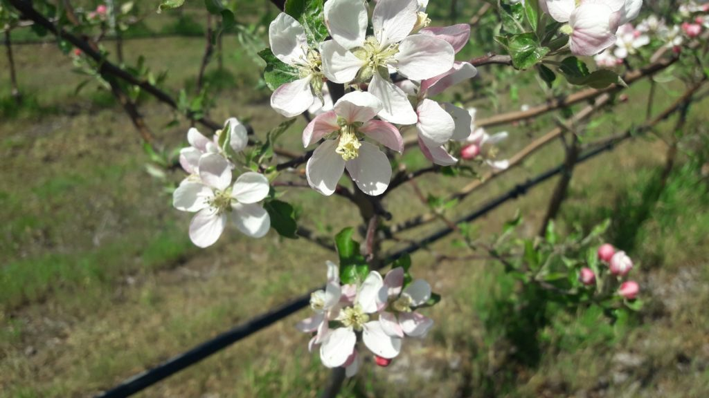 В Тельмановском районе зацвёл суперинтенсивный яблоневый сад (фото)