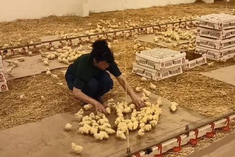 Поставки цыплят родительского стада на ГП «Шахтёрская птицефабрика» завершены на 75% (видео)