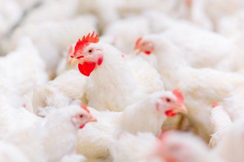 На ГП «Шахтёрская птицефабрика» улучшились производственные показатели (видео)