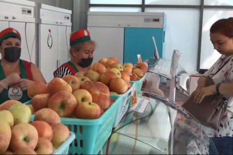 Урожай суперинтенсивного яблоневого сада реализуется на прилавках Республики (видео)