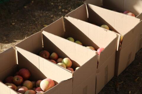 ГК «Аграрный Донбасс» оптом реализует яблоки из суперинтенсивного яблоневого сада