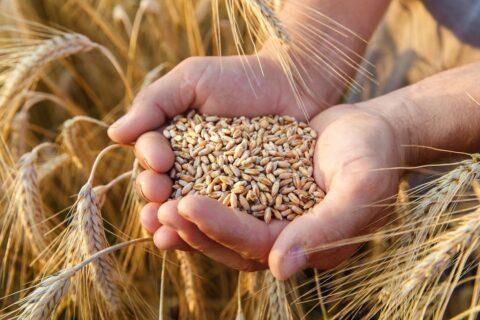 Для ГП «Заря Агро» определены объёмы экспорта пшеницы 2-4 класса