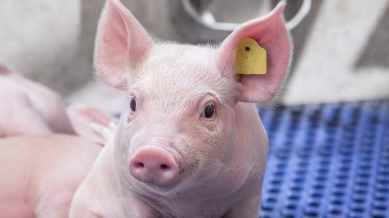 ГП «Заря Агро» планирует закупить в РФ высококачественный ремонтный молодняк свиней