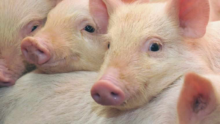 ГП «Заря Агро» увеличивает поголовье свиней