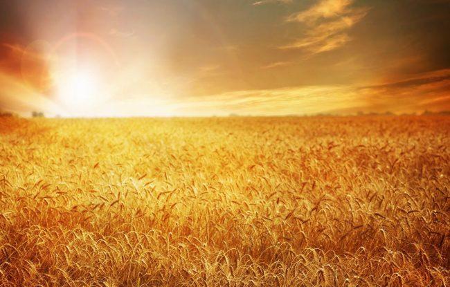 В подразделениях Государственной корпорации « Аграрный Донбасс»  дан старт уборочной кампании 2021 года.